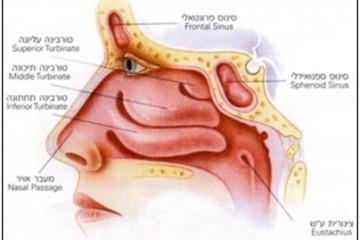 קונכיות האף טורבינות